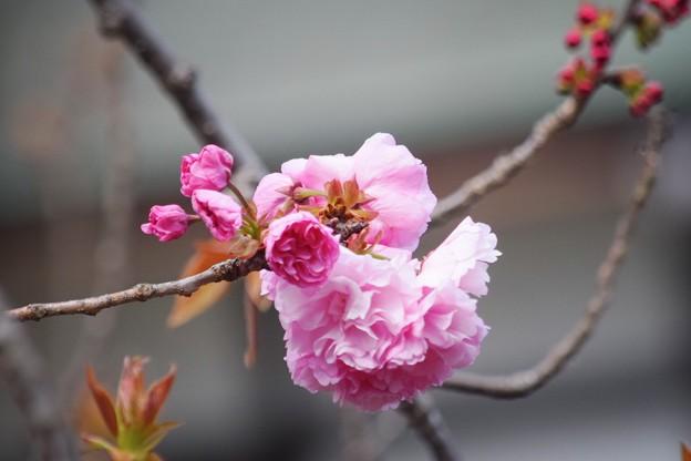 八重桜普賢象@鶴岡八幡宮 #湘南 #鎌倉 #kamakura #shrine #flower #花 #桜 #cherryblossom