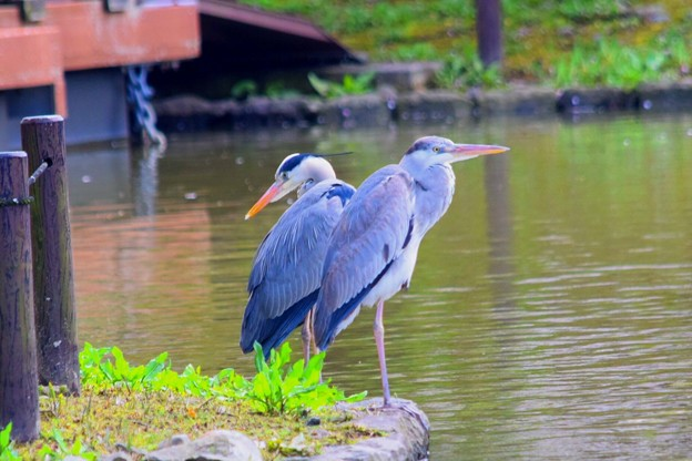 鶴岡八幡宮源平池の青鷺 #湘南 #鎌倉 #kamakura #shrine #鳥 #bird #青鷺 #animal