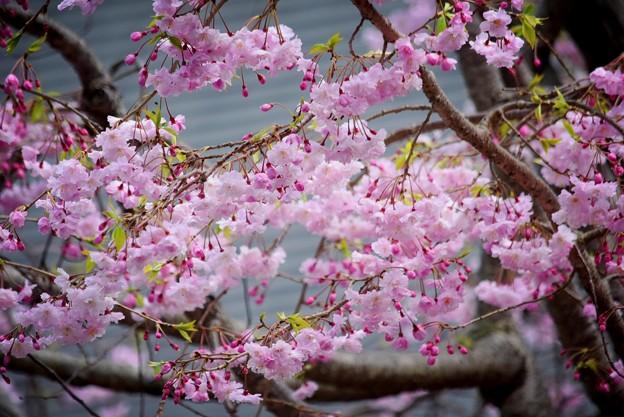 鶴岡八幡宮の枝垂梅 #湘南 #鎌倉 #kamakura #shrine #flower #花 #桜 #cherryblossom