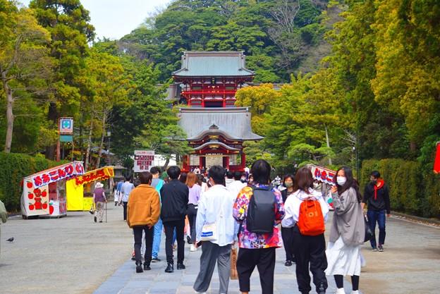 鶴岡八幡宮境内 #湘南 #鎌倉 #kamakura #shrine #flower #花 #桜 #cherryblossom