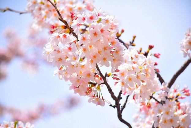 鶴岡八幡宮の染井吉野 #湘南 #鎌倉 #kamakura #shrine #flower #花 #桜 #cherryblossom