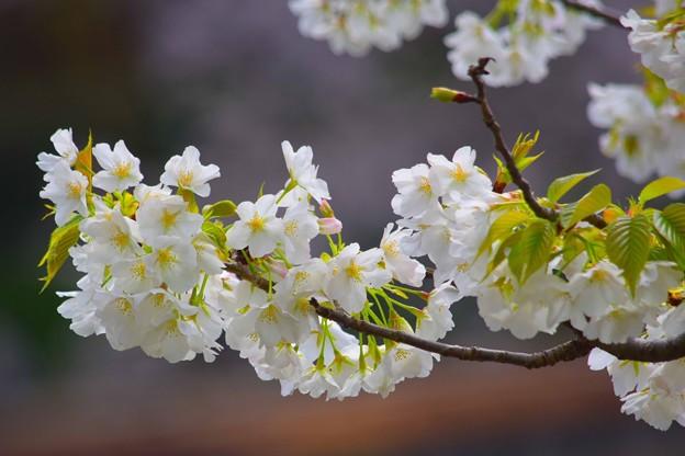 大島桜@鶴岡八幡宮 #湘南 #鎌倉 #kamakura #shrine #flower #花 #桜 #cherryblossom