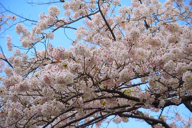 見頃の鶴岡八幡宮の桜 #湘南 #鎌倉 #kamakura #shrine #flower #花 #桜 #cherryblossom