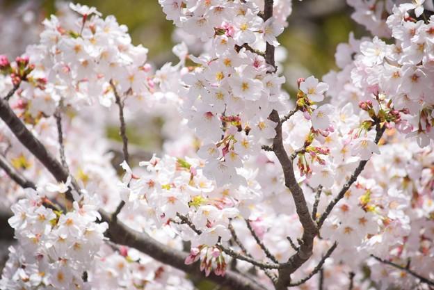 満開の鶴岡八幡宮の桜 #湘南 #鎌倉 #kamakura #shrine #flower #花 #桜 #cherryblossom