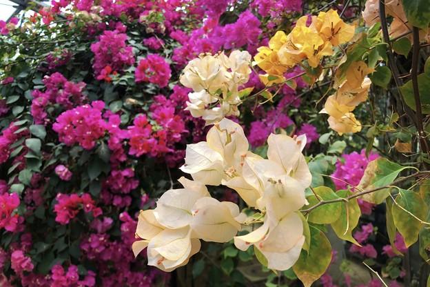夏水仙 #湘南 #鎌倉 #kamakura #花 #flower #mysky - 写真共有サイト