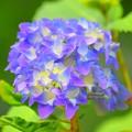 開花した紫陽花 #湘南 #鎌倉 #kamakura #寺 #temple #flower #花 #紫陽花 #hydrangea