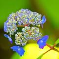 額紫陽花 大山丸 #湘南 #鎌倉 #kamakura #寺 #temple #flower #花 #紫陽花 #hydrangea