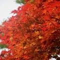 明月院夏紅葉 #湘南 #鎌倉 #kamakura #temple #寺 #花 #flower #紅葉