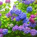 色とりどりの紫陽花 #湘南 #鎌倉 #kamakura #寺 #temple #花 #flower #紫陽花 #hydrangea