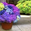 成就院山門の紫陽花 #湘南 #鎌倉 #kamakura #寺 #temple #花 #flower #紫陽花 #hydrangea