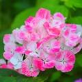 成就院の紫陽花 #湘南 #鎌倉 #kamakura #寺 #temple #花 #flower #紫陽花 #hydrangea