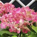 鮮やかな色合いの成就院の紫陽花 #湘南 #鎌倉 #kamakura #寺 #temple #花 #flower #紫陽花 #hydrangea