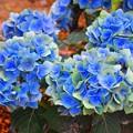 見頃を迎えた成就院の紫陽花 #湘南 #鎌倉 #kamakura #寺 #temple #花 #flower #紫陽花 #hydrangea