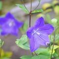 長谷寺の桔梗 #湘南 #鎌倉 #kamakura #寺 #temple #長谷寺 #flower #花