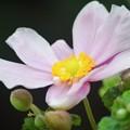 秋明菊@長谷寺 #湘南 #鎌倉 #kamakura #寺 #temple #長谷寺 #flower #花