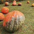 おばけかぼちゃ #湘南 #鎌倉 #花 #flower #kamakura #大船フラワーセンター #ハロウィン