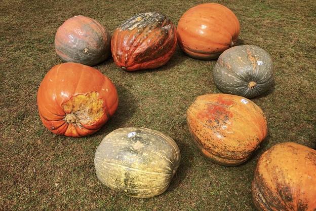 人が座れる大きなおばけかぼちゃ #湘南 #鎌倉 #花 #flower #kamakura #大船フラワーセンター #ハロウィン