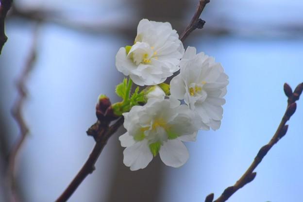 子福桜 #湘南 #鎌倉 #花 #flower #kamakura #大船フラワーセンター