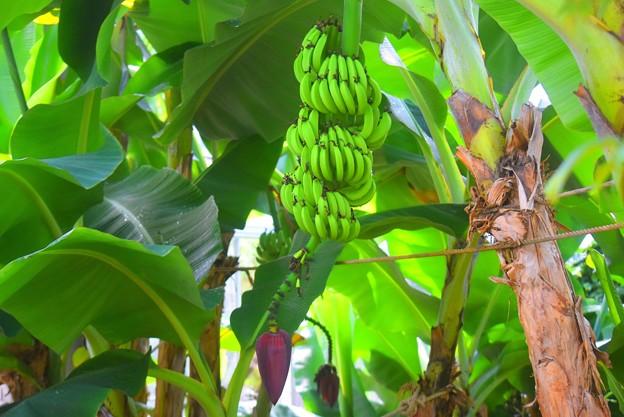 バナナの花と実 #湘南 #鎌倉 #花 #flower #kamakura #大船フラワーセンター