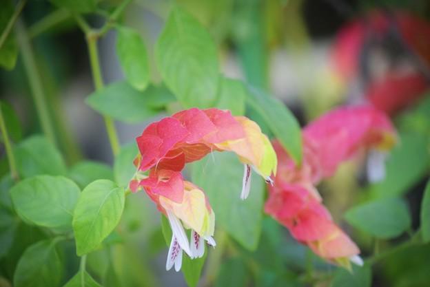 小海老草 #湘南 #鎌倉 #花 #flower #kamakura #大船フラワーセンター