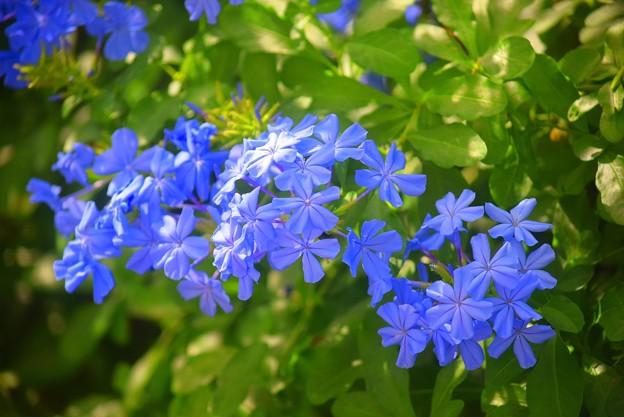 瑠璃茉莉 #湘南 #鎌倉 #花 #flower #kamakura #大船フラワーセンター