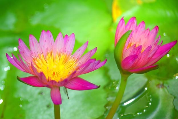 睡蓮 アフターグロー #湘南 #鎌倉 #花 #flower #花 #kamakura