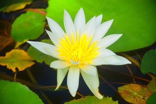 睡蓮 ホワイトパール #湘南 #鎌倉 #花 #flower #花 #kamakura