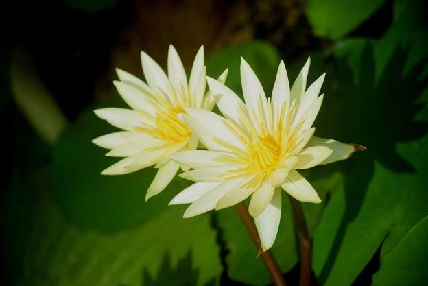 大船フラワーセンターの睡蓮 #湘南 #鎌倉 #花 #flower #花 #kamakura