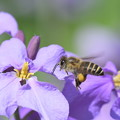 Photos: ミツバチ