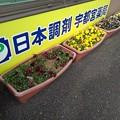 Photos: 調剤薬局のパンジー(2月12日)