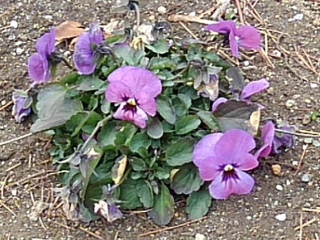 矢板駅の薄紫パンジー(2月12日)