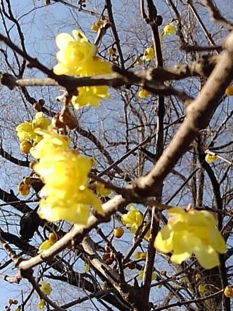 晴れた日の長峰公園のロウバイ(2月14日)