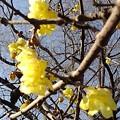 Photos: 晴れた日の長峰公園のロウバイ(2月14日)