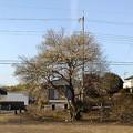 長峰公園の梅の木(2月14日)