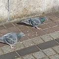 2羽の鳩(2月12日)