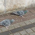 Photos: 2羽の鳩(2月12日)