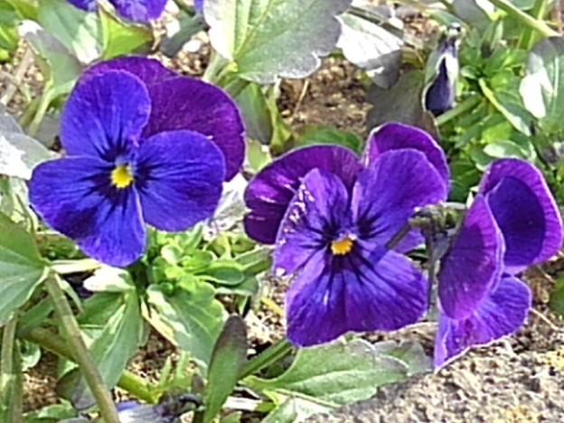 矢板駅の紫パンジー(2月12日)