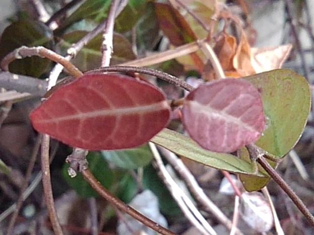 赤くて小さな葉(2月9日)【再アップ】