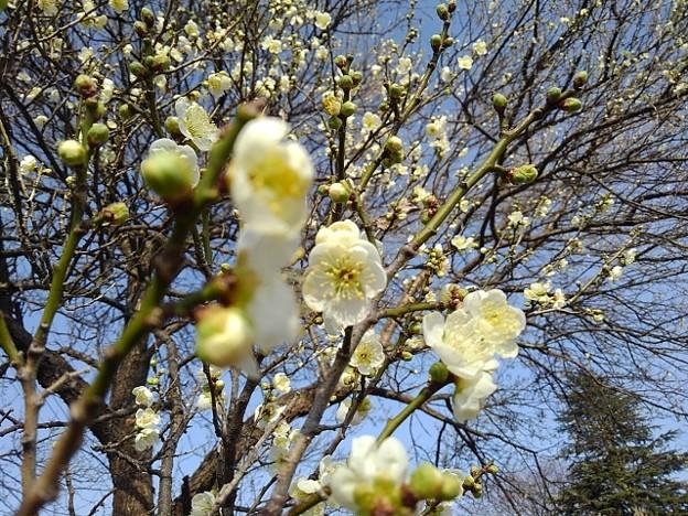 長峰公園の咲き始めの梅の花(2月14日)【再アップ】