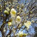 Photos: 長峰公園の咲き始めの梅の花(2月14日)【再アップ】
