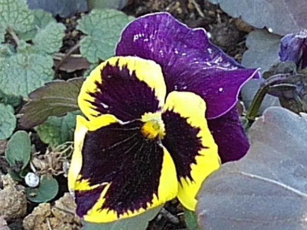 長峰公園の黄色と紫のパンジー(2月14日)