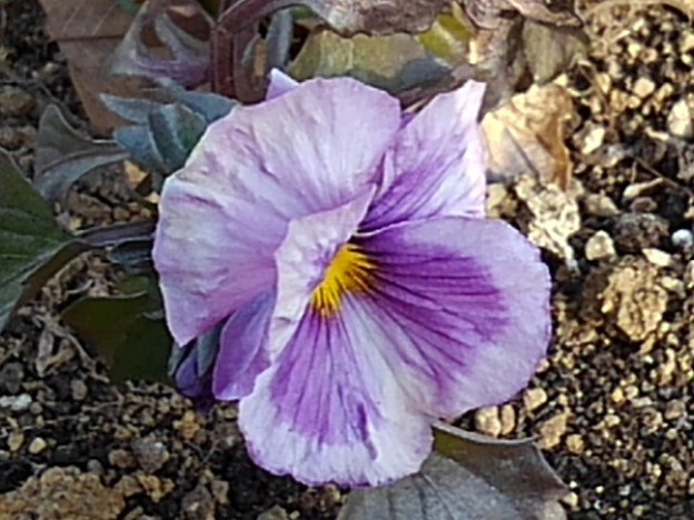 長峰公園の薄紫のパンジー(2月14日)