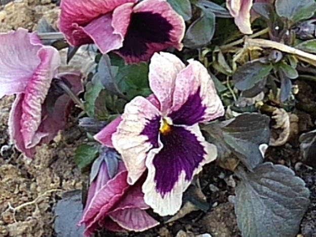 長峰公園の赤紫のパンジー(2月14日)