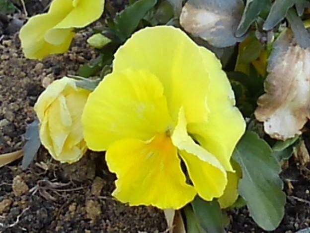 長峰公園のレモン色のパンジー(2月14日)