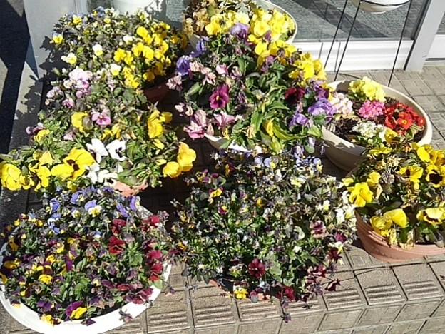 足利銀行矢板店の前の花(2月19日)