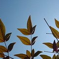 青空と南天(2月22日)