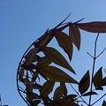 風に揺れる南天の葉(2月27日)