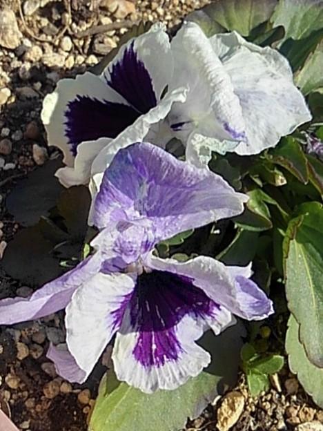 道の駅の薄紫と白のパンジー(2月28日)