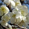 Photos: 梅の花(3月7日)