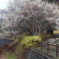 水車小屋と梅(3月21日)